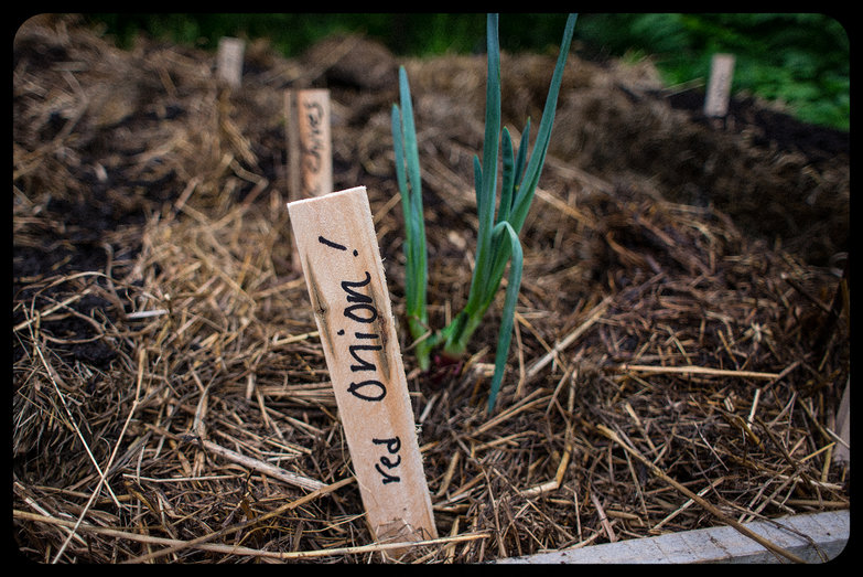 Red Onion Planted (Shim as Label)