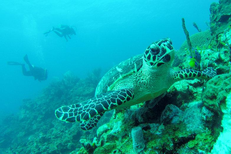 Turtle & Scuba Divers