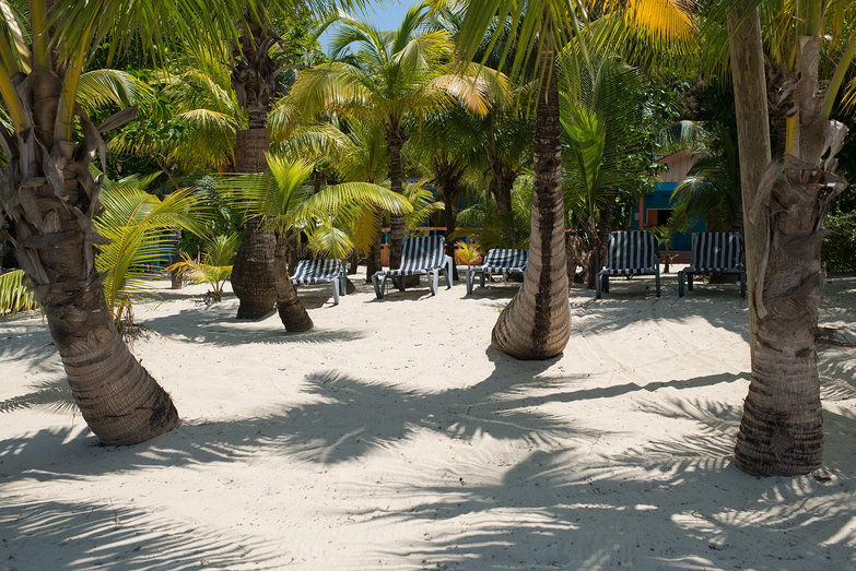 Palm Trees in Roatan