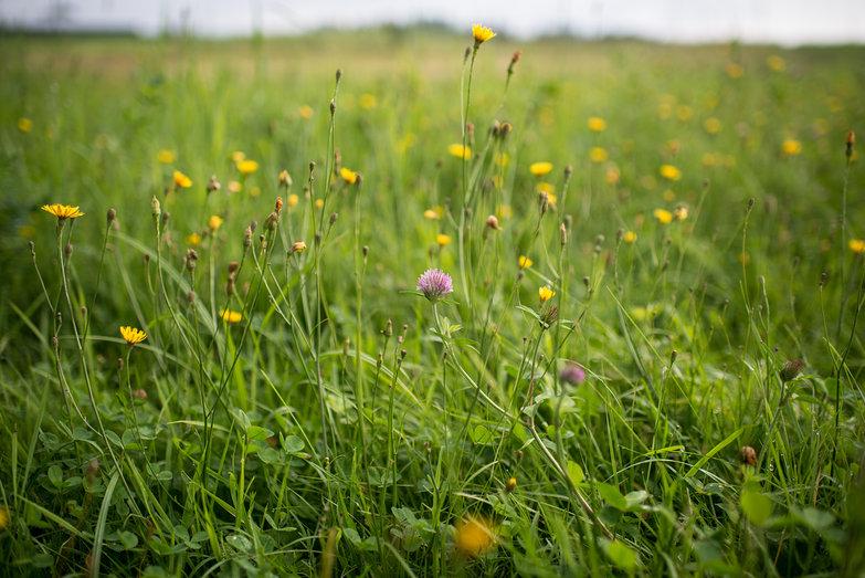 Clover & Grasses
