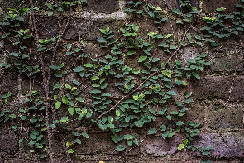 Charleston Greenery Growing on Brick Wall