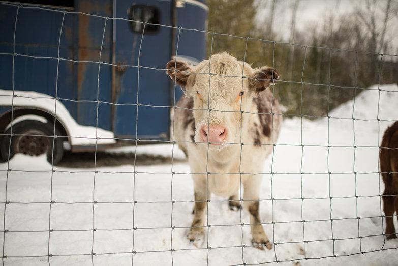 Neighborhood Cow