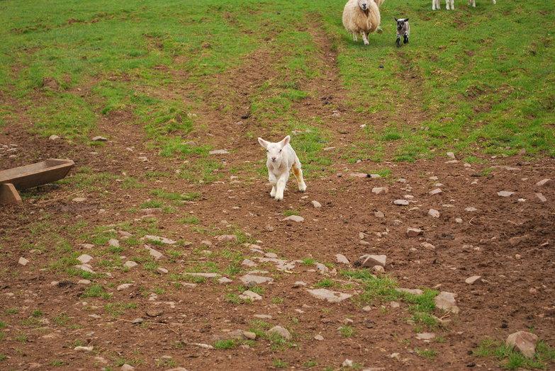 Cute Lamby Lamb