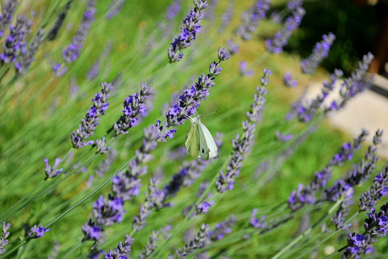 Lavendar & Butterfly