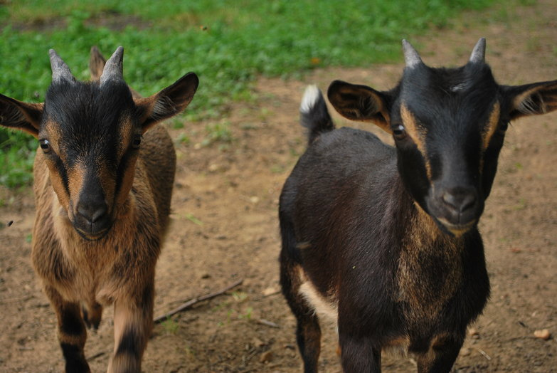 Goat Friends