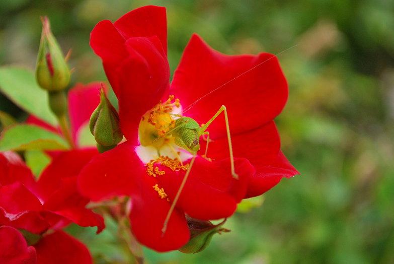 Rose + Bug
