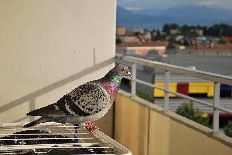 Balcony Pigeon