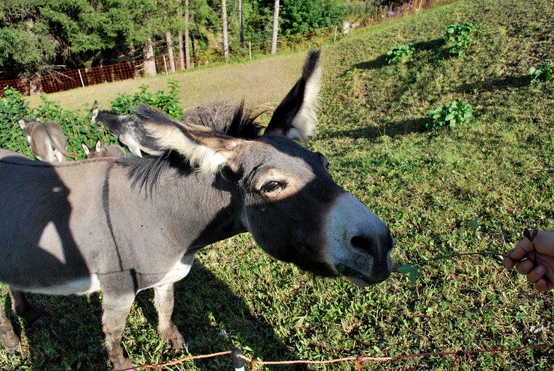 Eager Donkey