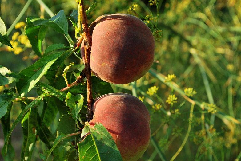 Mezzapiaggia Peaches
