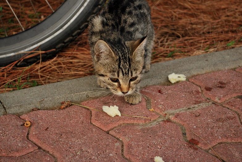 Stray Kitten Eating Bread