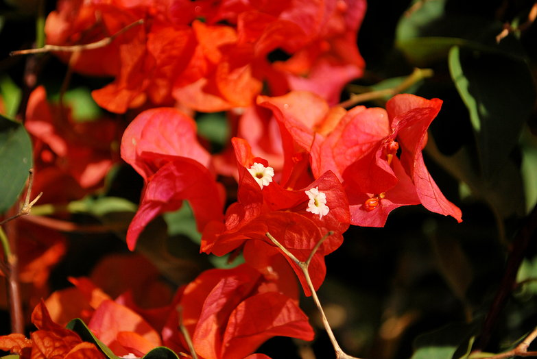 Orange Bougainvillia