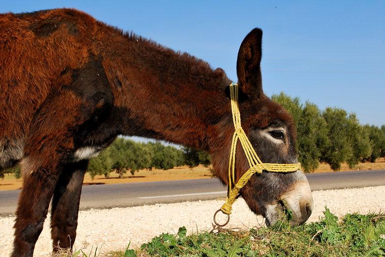 Tunisian Donkey