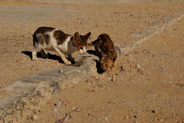 Kerkennah Cat Extravaganza
