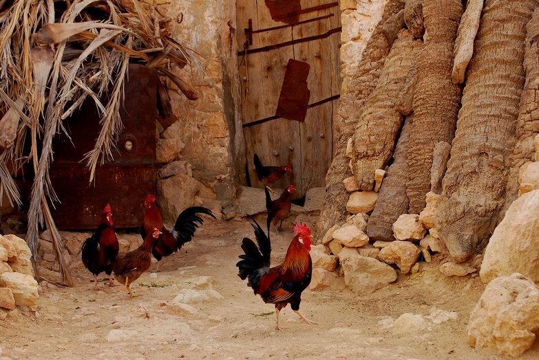 Chenini Chickens