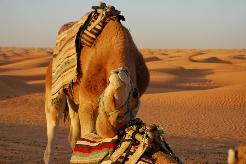 Camel Scratching