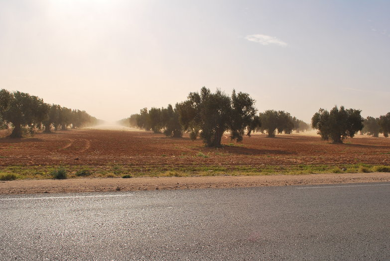 Sand Blowing Across Olive Grove