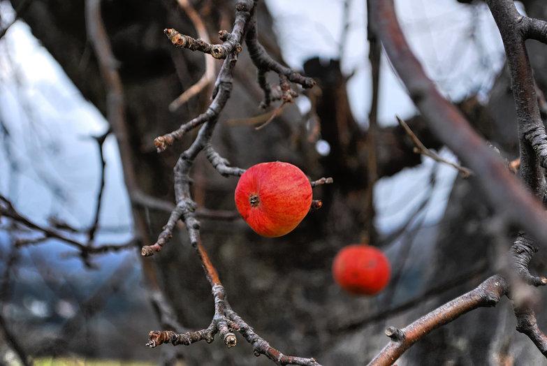 Cretan Apple