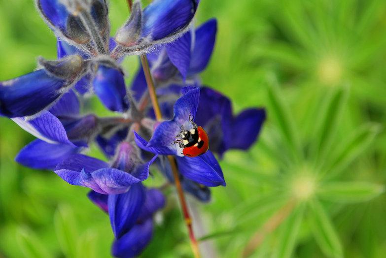 Lupine & Ladybug