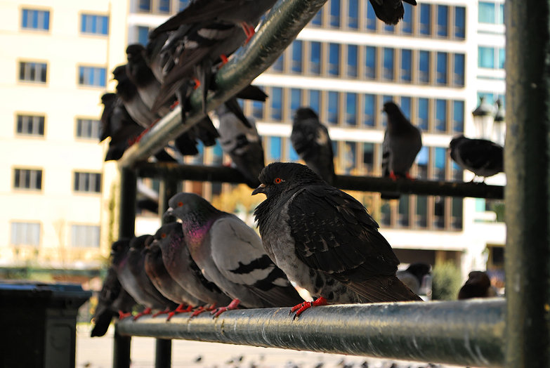 Pigeons in a Row