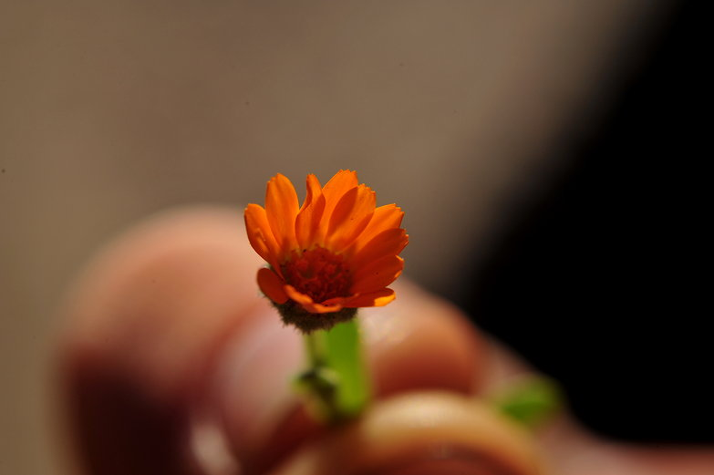 Tiny Orange Flower