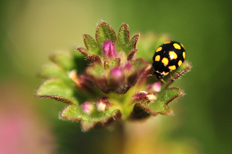 Black and Yellow Ladybug