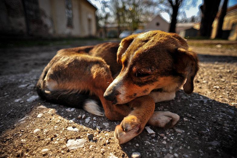 Sad Serbian Doggie