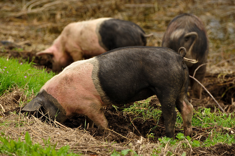 Danube Pigs Rutting