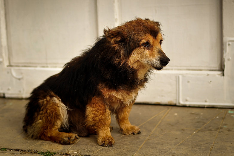 Old Romanian Doggie