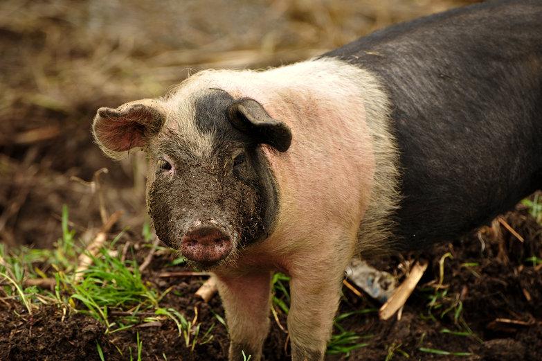 Danube Piggie