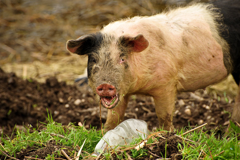 Danube Piggie Yelling