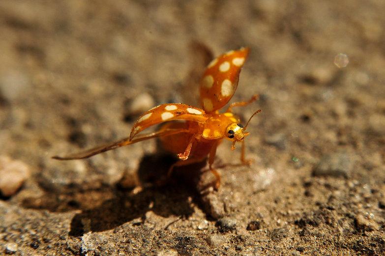 Ladybug Taking Off