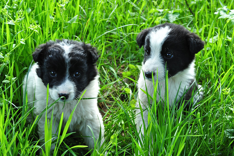 Abandoned Border Collies