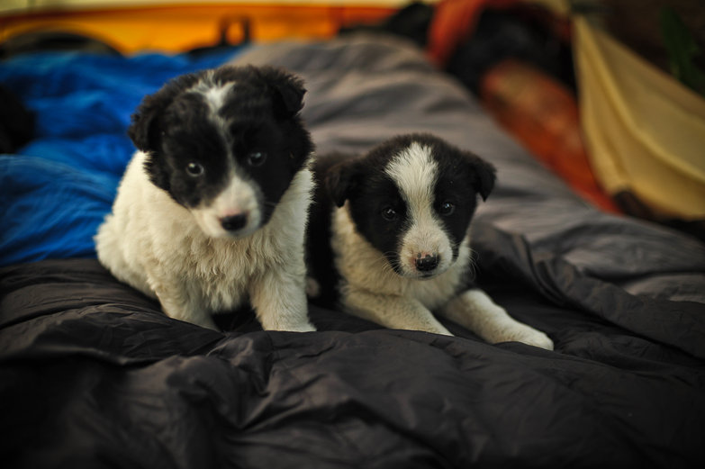 Abandoned Collies
