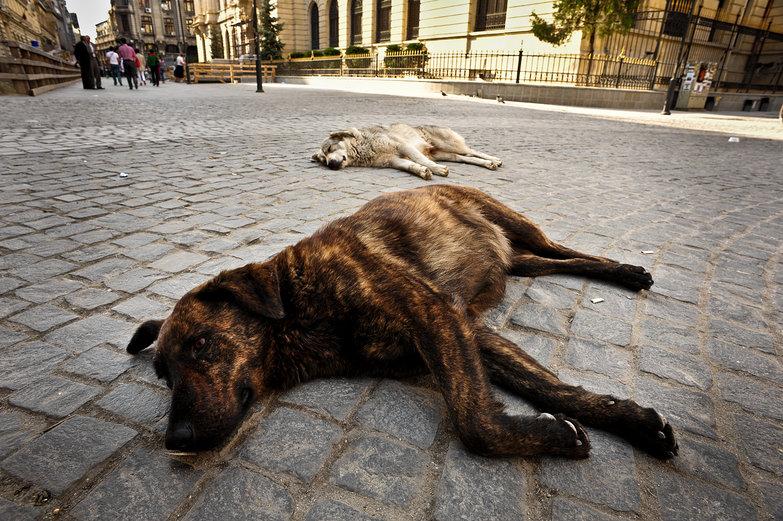 Bucharest Stray Dogs