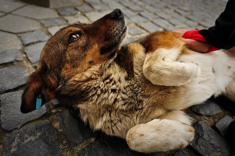 Stray Doggie in Sibiu