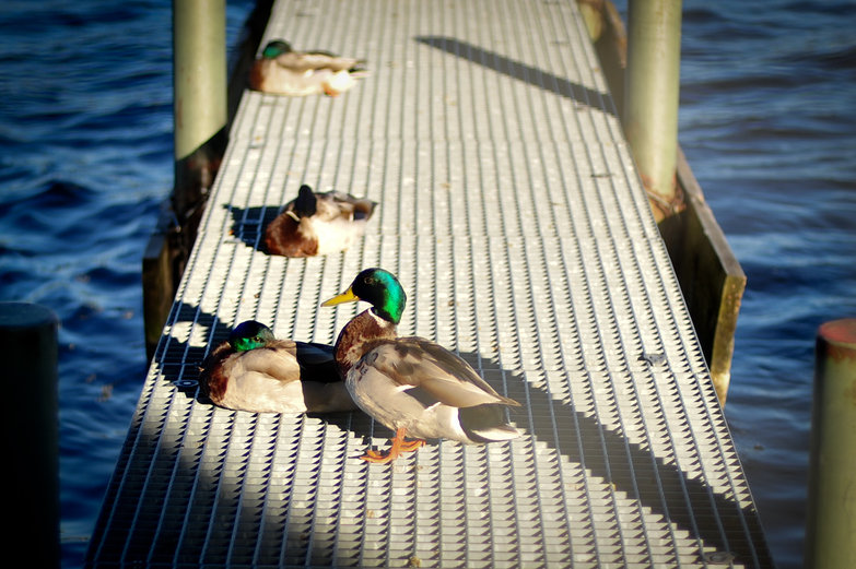 Ducks on Deck