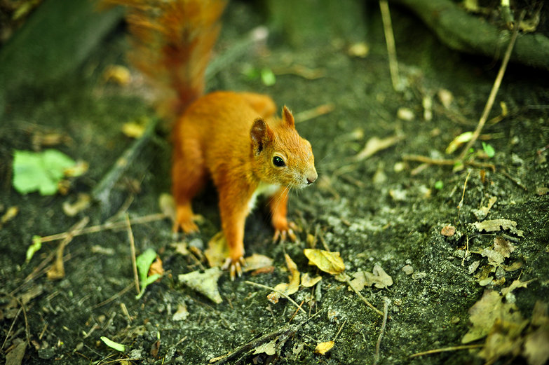 Friendly Red Squirrel
