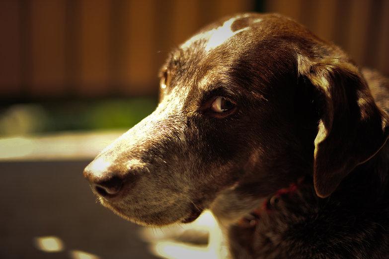 Shaika the Dog