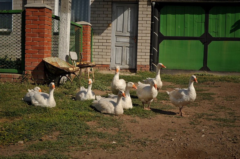 Russian Geese