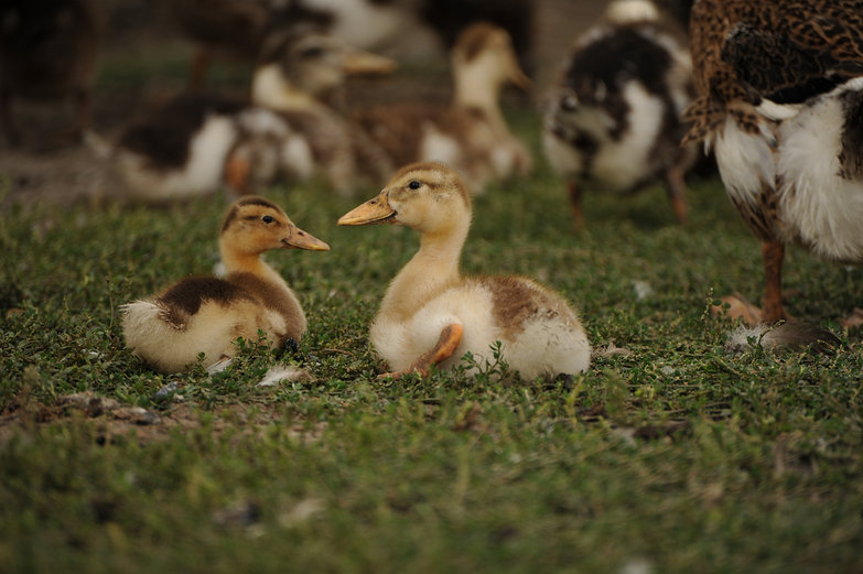Siberian Duckies