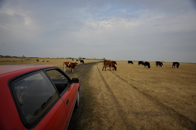 LRC with Cows in Siberia