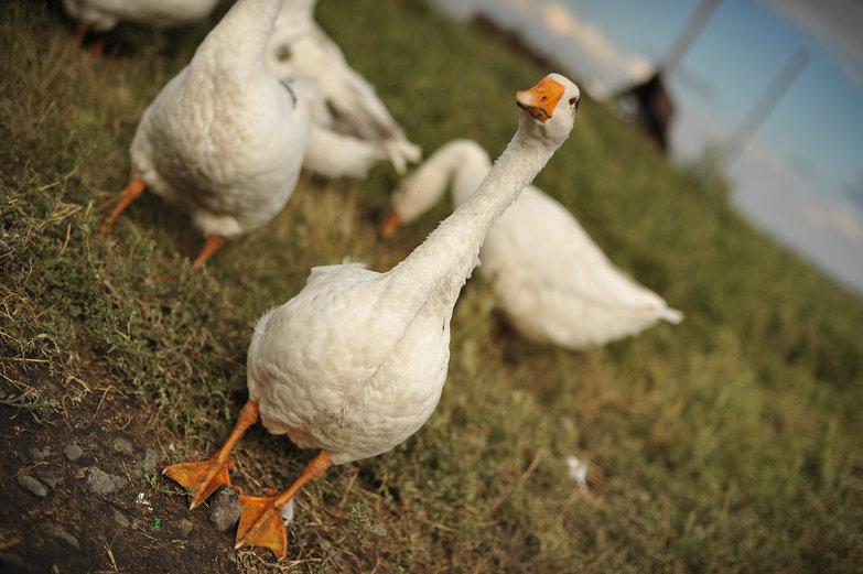 Dorky Goose!