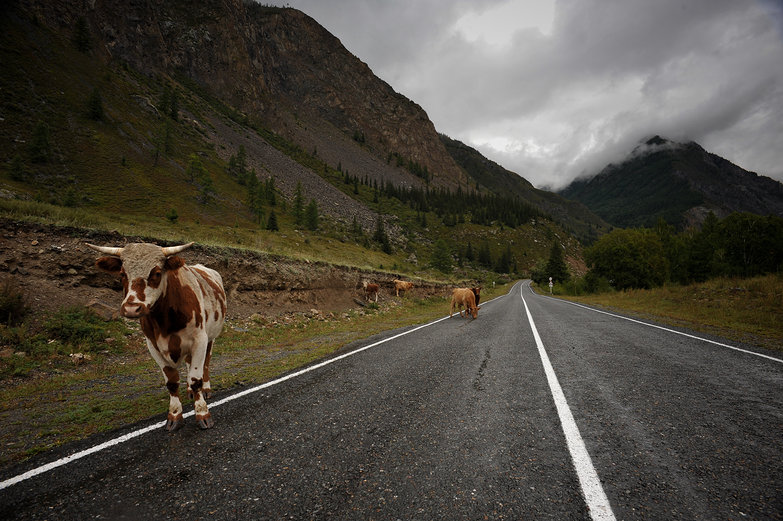 Altay Mountain Road with Cows