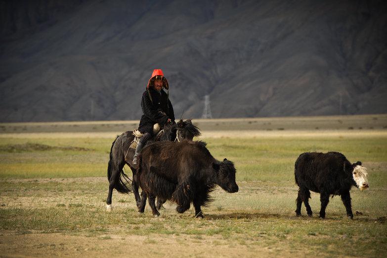 Mongolian Man Herding Cows