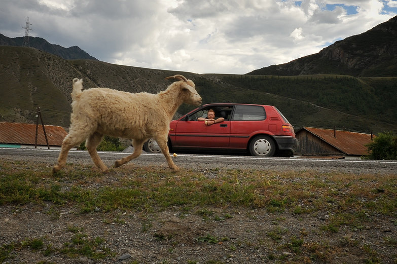 Altay Goat & LRC