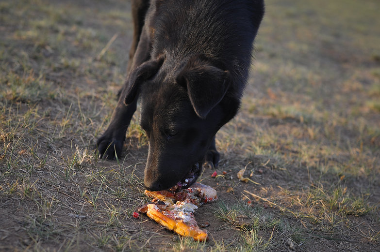 Mongolian Dog Eating Vegan Pizza