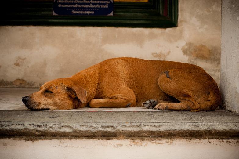 Wat Pho Doggie