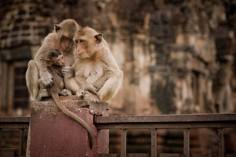 Lopburi Monkey Family