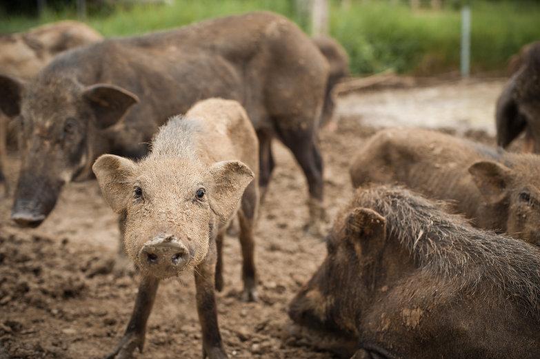 Thai Piggy