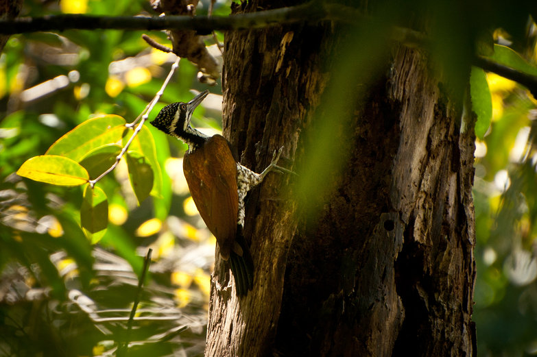 Khao Yai National Park Woodpecker